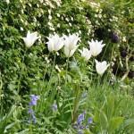 Witte lelietulp